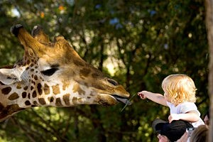 zoo girafe