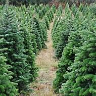christmas tree farm - Christmas Tree Nursery